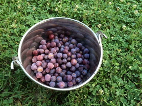 Picking grapes for jelly