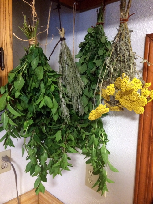 Mint, yarrow leaves, lemon balm, and yarrow flowers all dry in the kitchen.