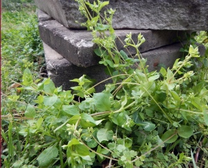 Harvesting my own herbs – like this chickweed – for herbal tinctures and tonics has proven rewarding.