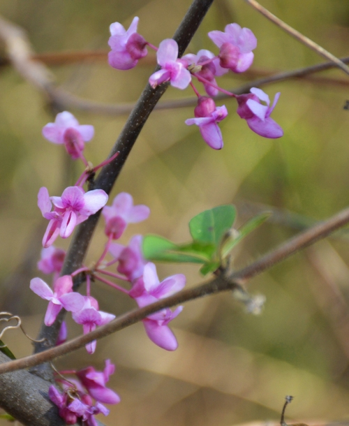 I adore redbud trees, which grow well in our area (but even more so a little farther south in the Ozarks)
