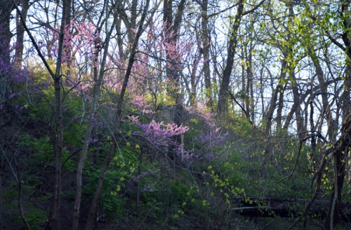 An almost magical glow comes from morning sun hitting redbuds.