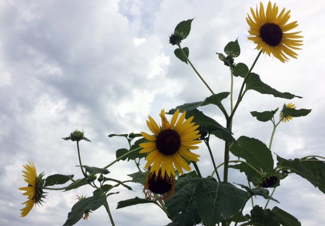 PTM sunflowers