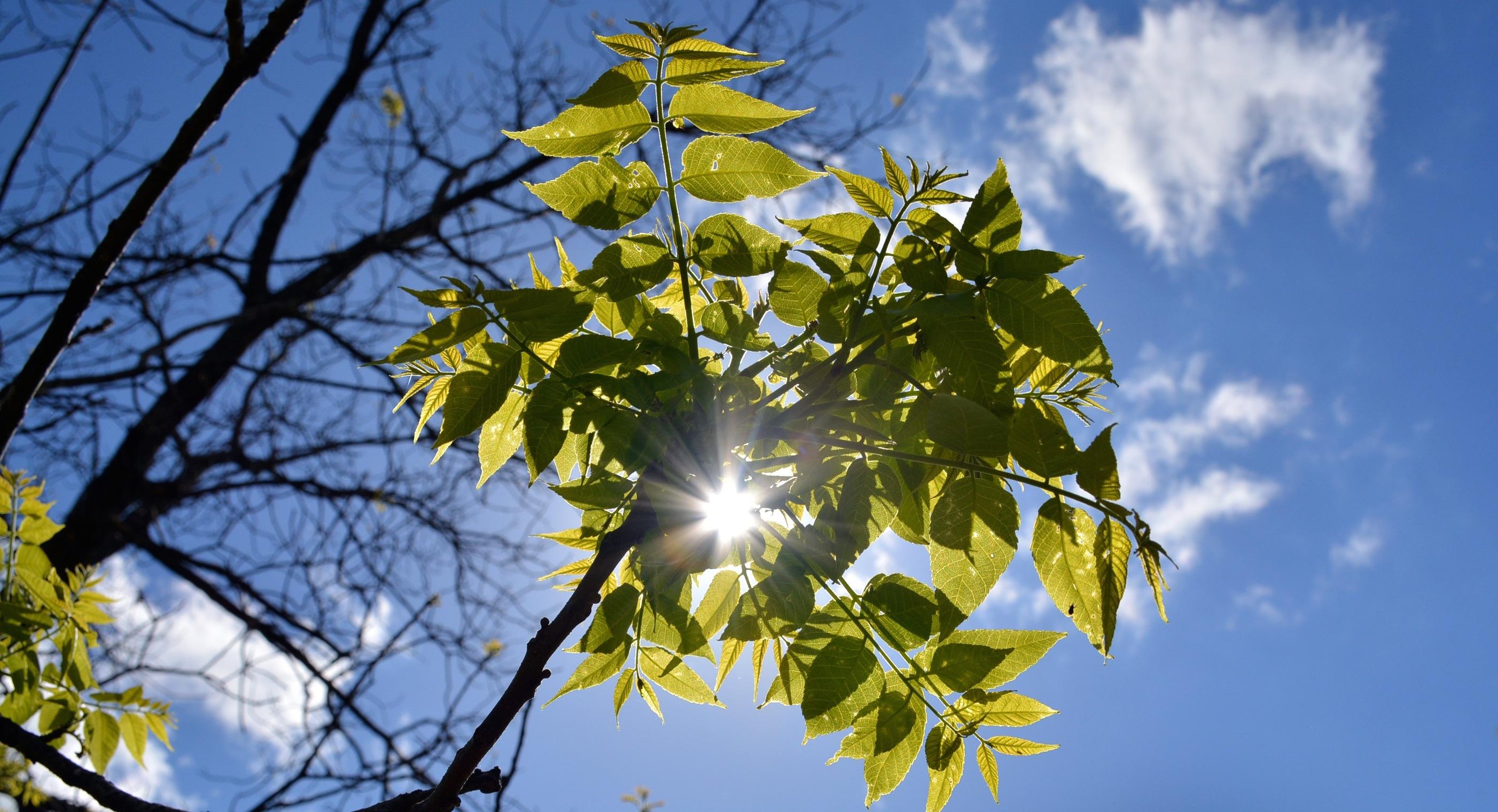 SUn thru walnut