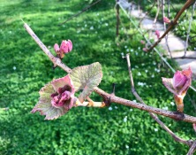 Grapevine buds