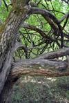 Allen hedge treevert